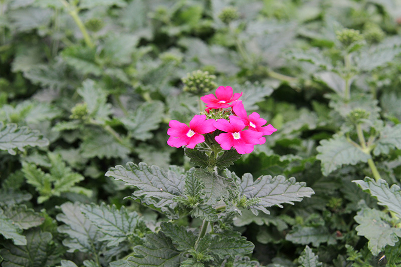 Blumen pink