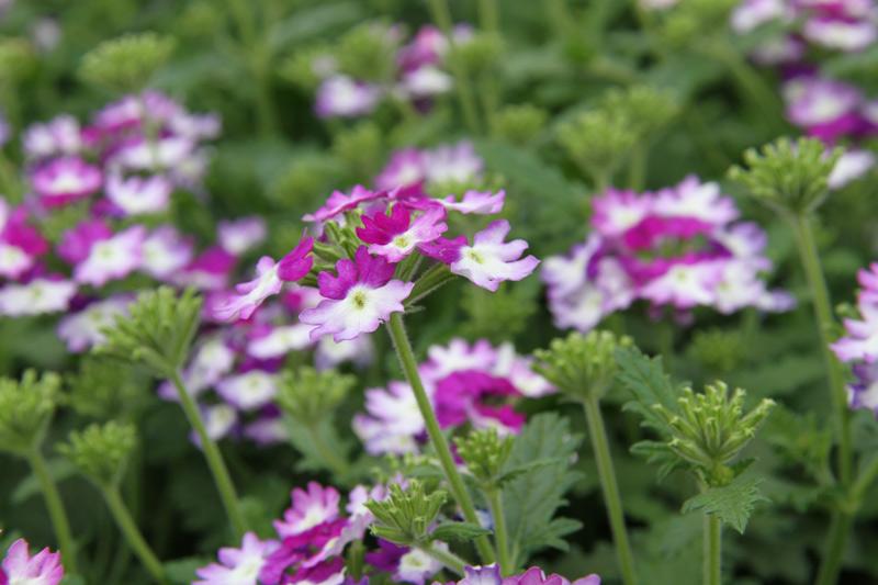 Blumen violett weiss