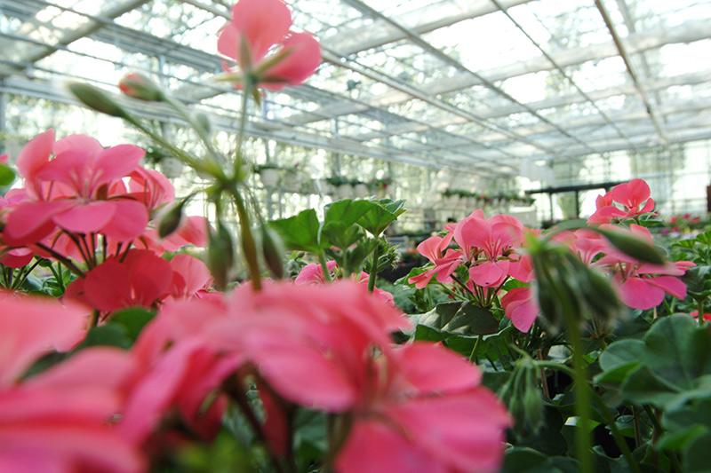 rosa Blumen in dem Glashaus
