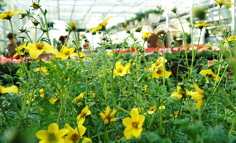 gelb Blumen in dem Glashaus