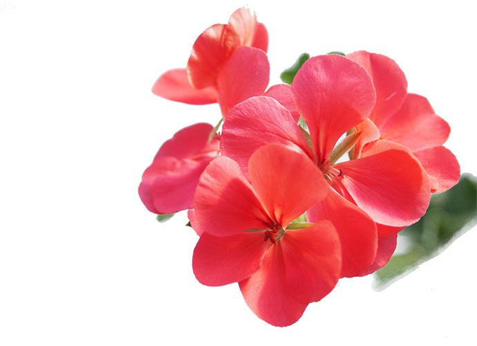 rosa Blütenstand