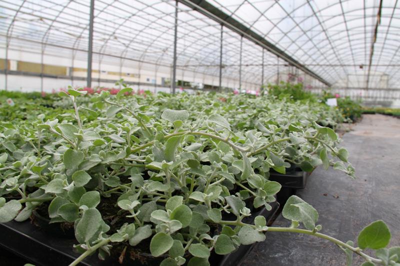 Gruenpflanzen in dem Glashaus