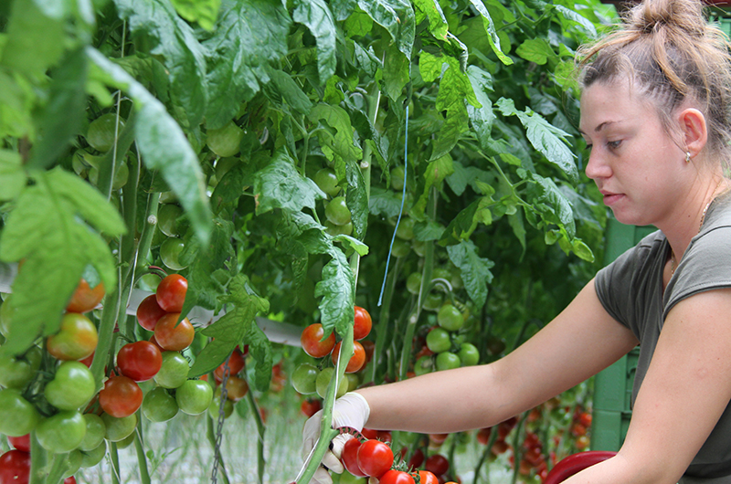 Gaertnerin mit Tomaten