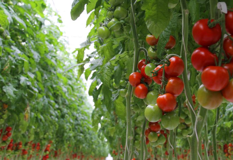 Tomaten Strauch